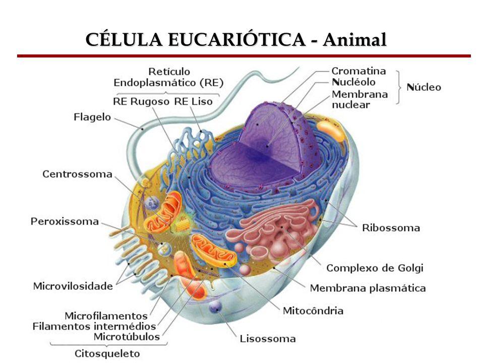 CÉLULA EUCARIÓTICA - Animal