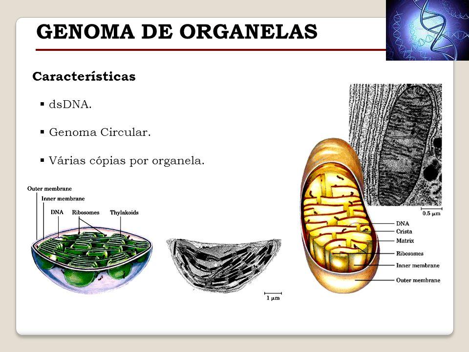 GENOMA DE ORGANELAS Características dsDNA. Genoma Circular.