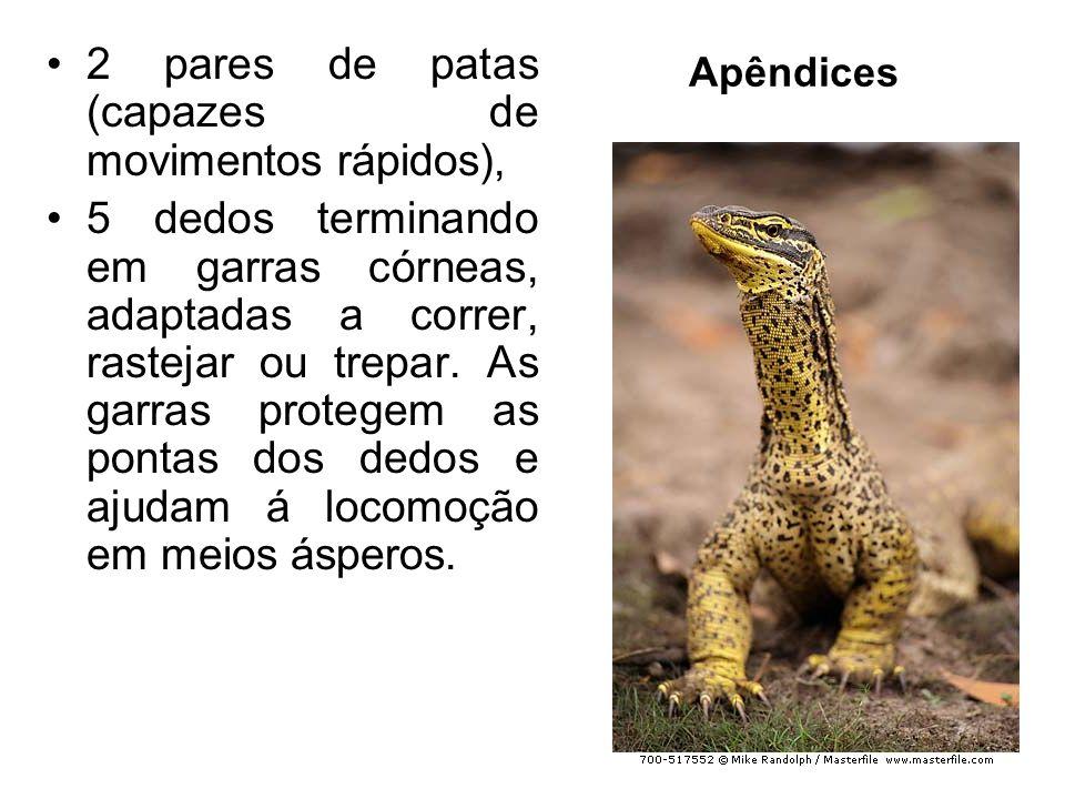 2 pares de patas (capazes de movimentos rápidos),