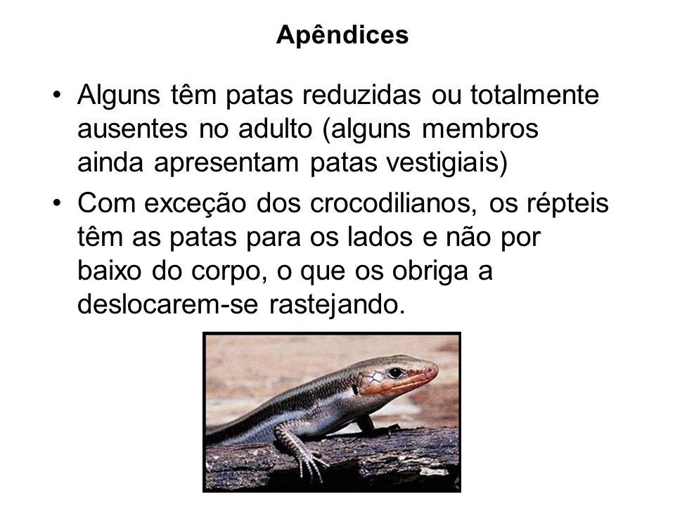 Apêndices Alguns têm patas reduzidas ou totalmente ausentes no adulto (alguns membros ainda apresentam patas vestigiais)