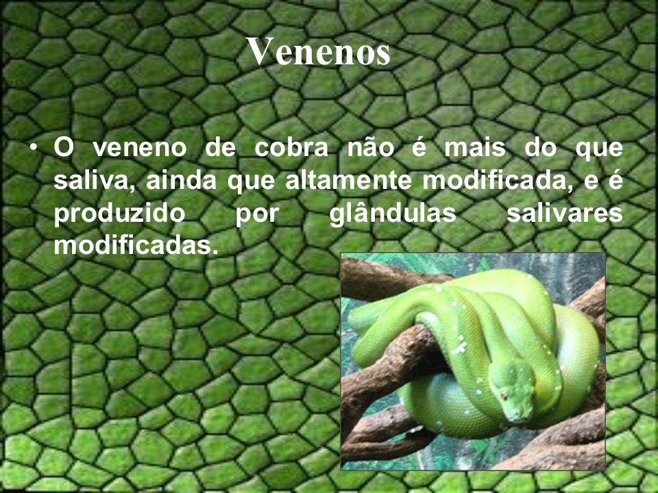 Venenos O veneno de cobra não é mais do que saliva, ainda que altamente modificada, e é produzido por glândulas salivares modificadas.