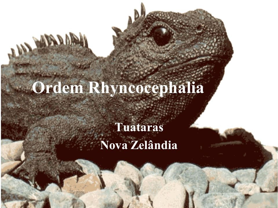 Tuataras Nova Zelândia