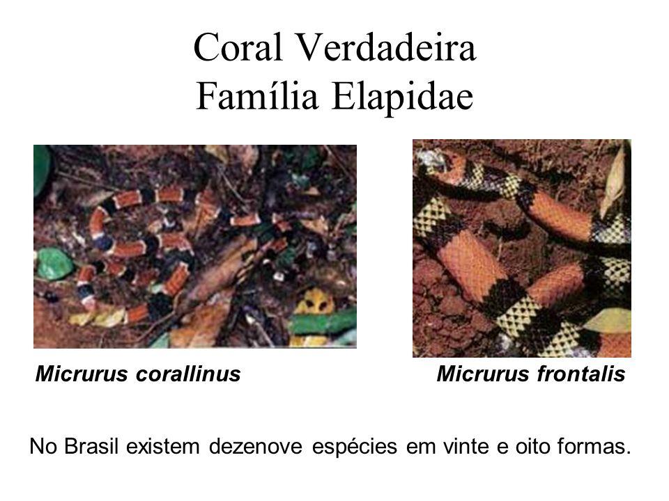 Coral Verdadeira Família Elapidae
