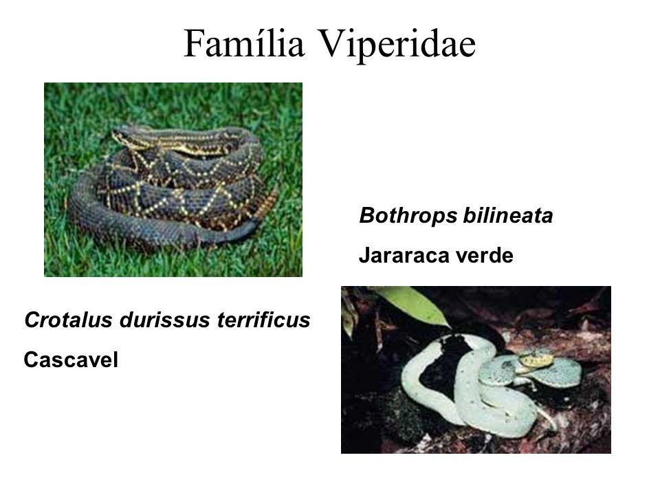 Família Viperidae Bothrops bilineata Jararaca verde