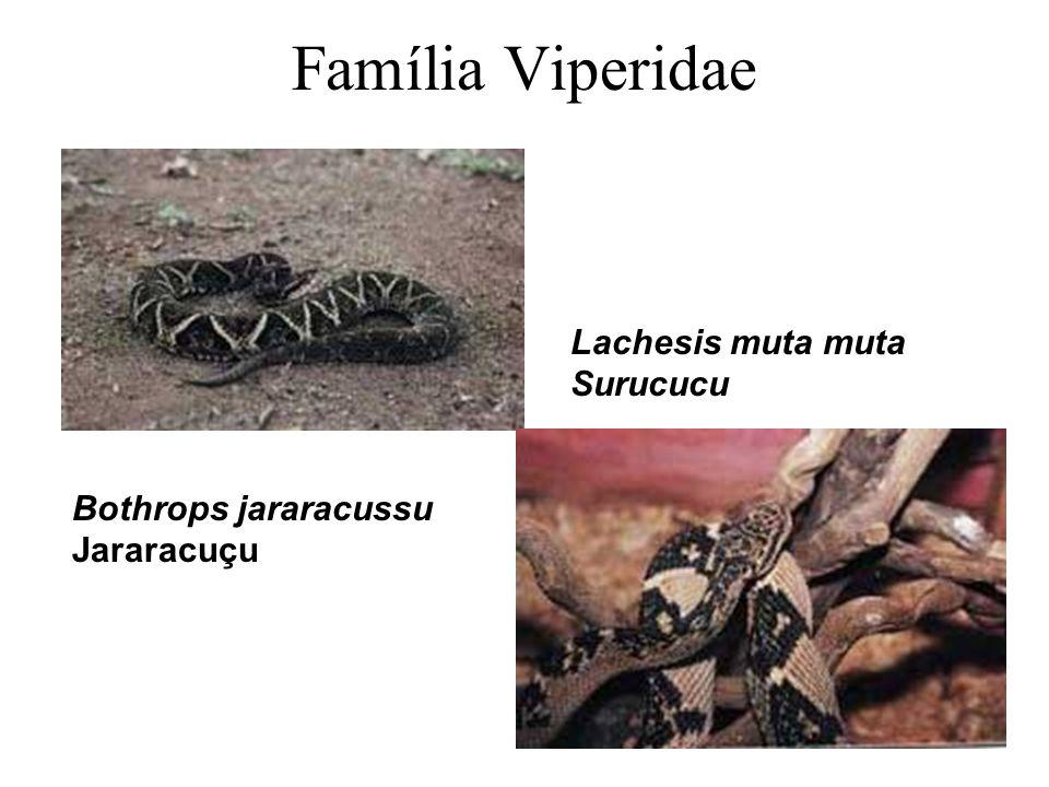 Família Viperidae Lachesis muta muta Surucucu