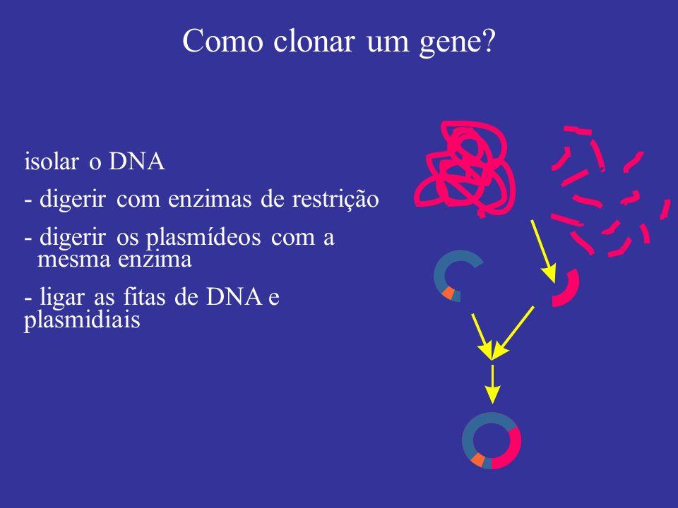 Como clonar um gene isolar o DNA - digerir com enzimas de restrição
