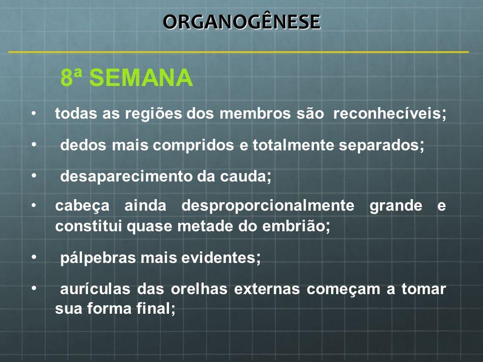 ORGANOGÊNESE 8ª SEMANA dedos mais compridos e totalmente separados;