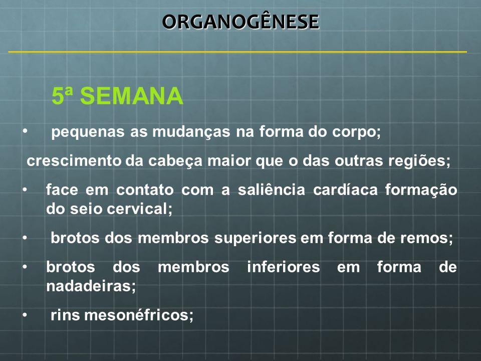 ORGANOGÊNESE 5ª SEMANA pequenas as mudanças na forma do corpo;