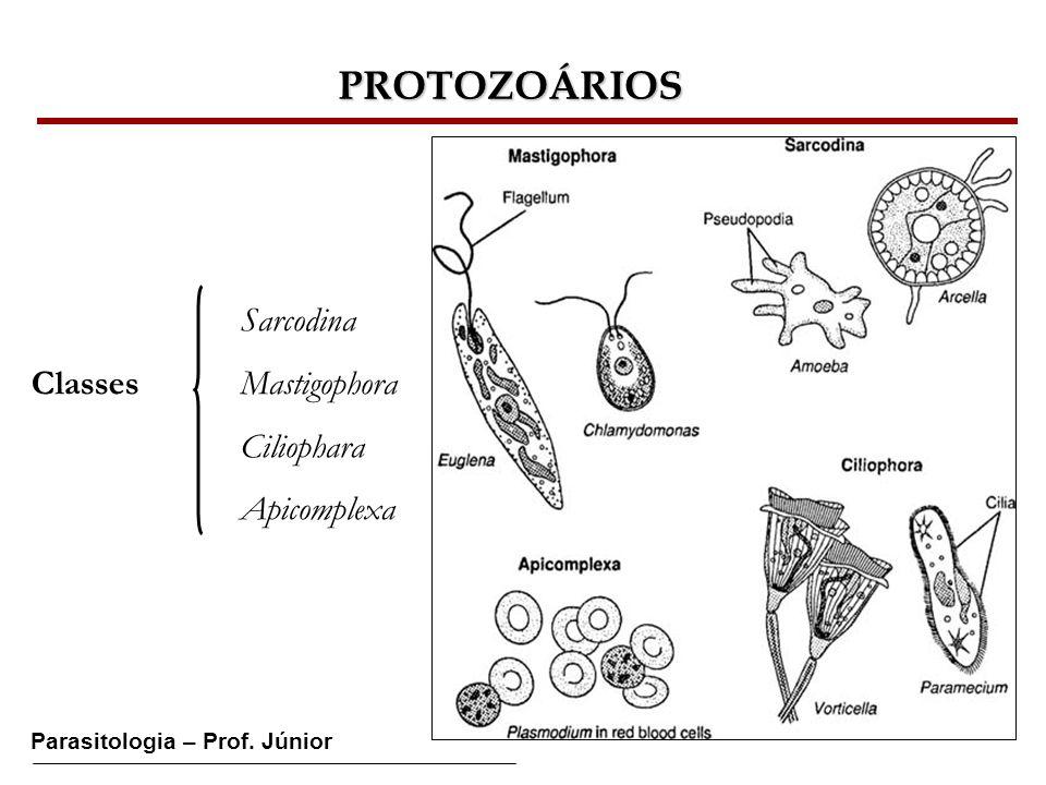 PROTOZOÁRIOS Sarcodina Classes Mastigophora Ciliophara Apicomplexa