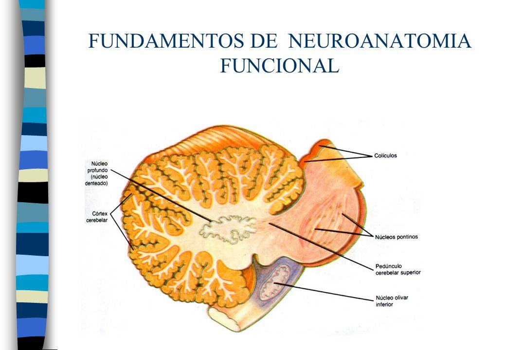 FUNDAMENTOS DE NEUROANATOMIA FUNCIONAL