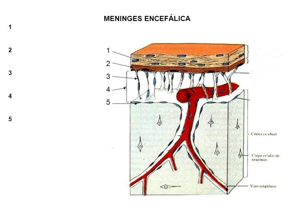 MENINGES ENCEFÁLICA 1 2 3 4 5 1 2 3 4 5