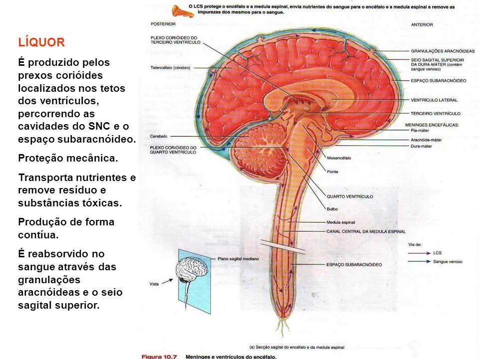 LÍQUOR É produzido pelos prexos corióides localizados nos tetos dos ventrículos, percorrendo as cavidades do SNC e o espaço subaracnóideo.