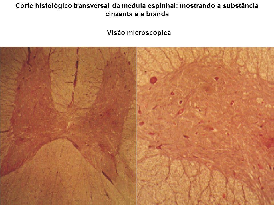 Corte histológico transversal da medula espinhal: mostrando a substância cinzenta e a branda
