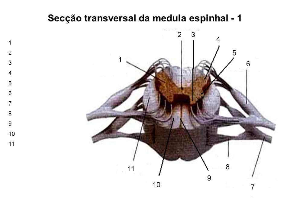 Secção transversal da medula espinhal - 1