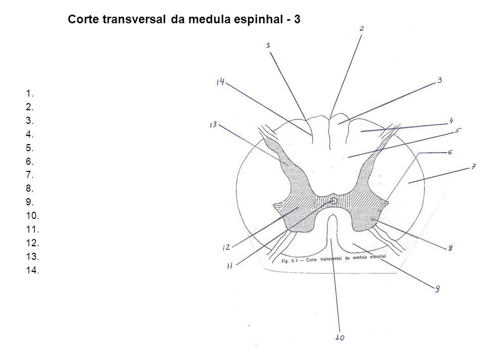 Corte transversal da medula espinhal - 3