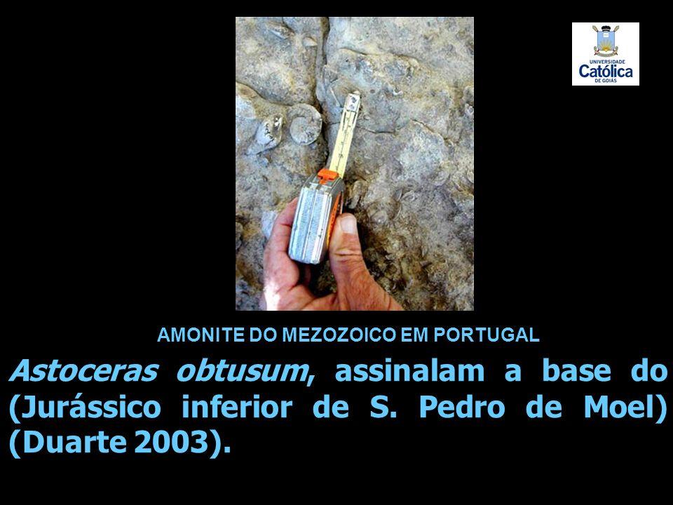 AMONITE DO MEZOZOICO EM PORTUGAL.
