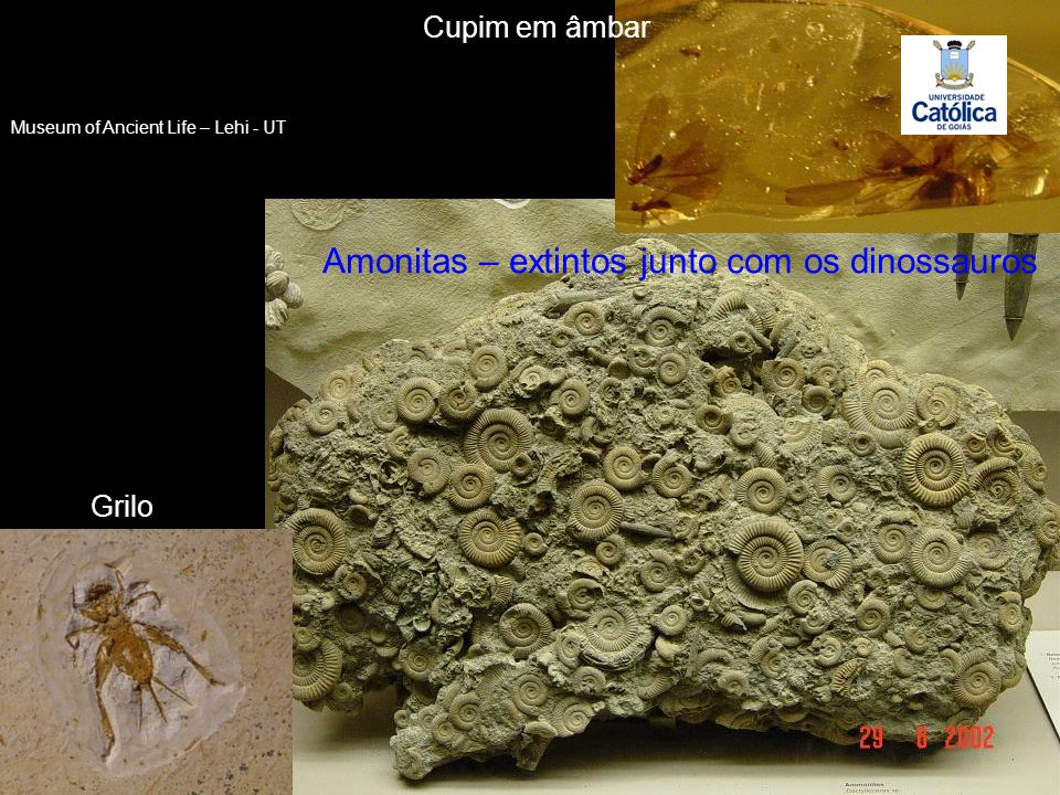Amonitas – extintos junto com os dinossauros