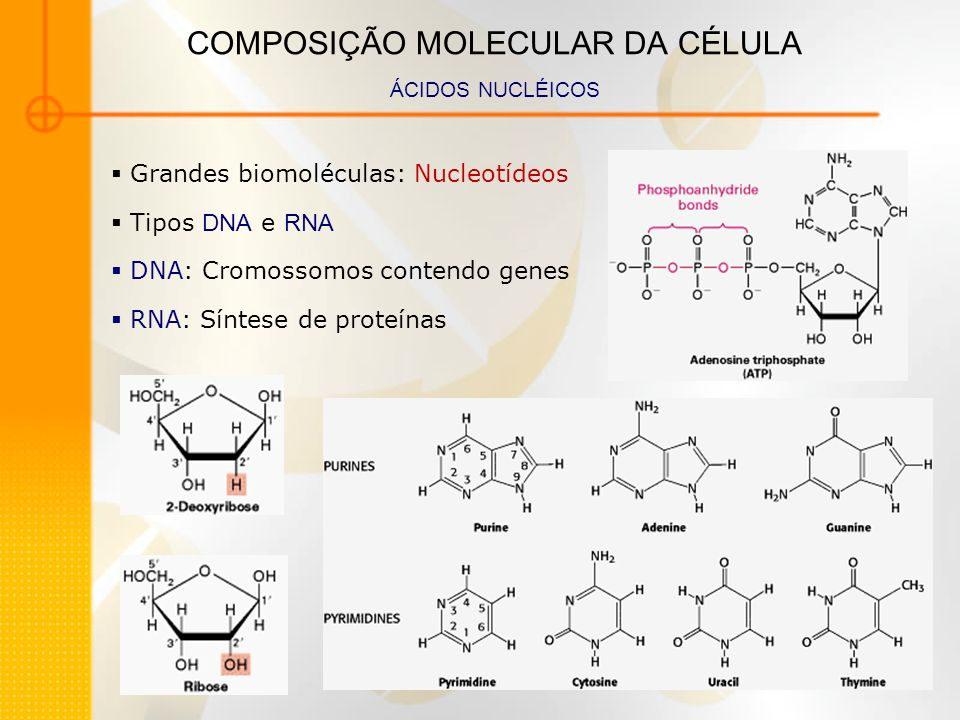 COMPOSIÇÃO MOLECULAR DA CÉLULA ÁCIDOS NUCLÉICOS