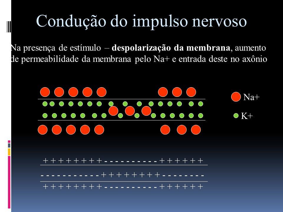 Condução do impulso nervoso