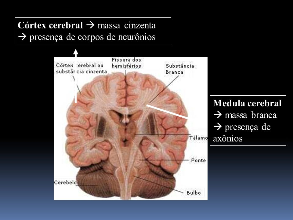 Córtex cerebral  massa cinzenta  presença de corpos de neurônios
