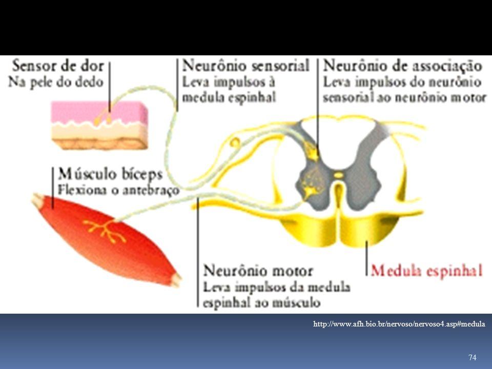 http://www.afh.bio.br/nervoso/nervoso4.asp#medula