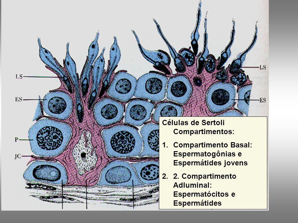 Células de Sertoli Compartimentos: