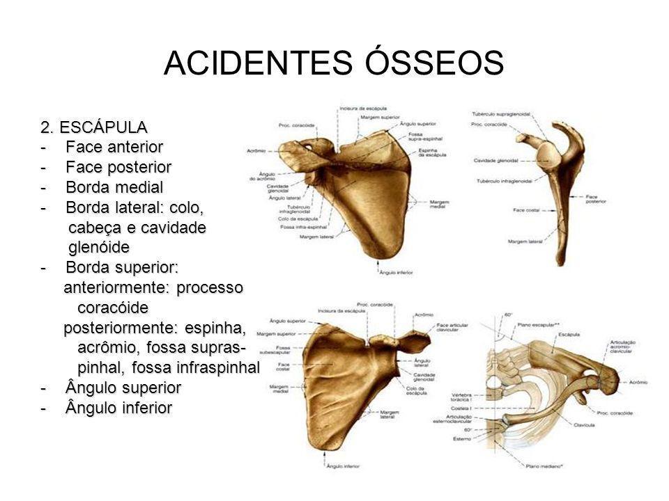 ACIDENTES ÓSSEOS 2. ESCÁPULA Face anterior Face posterior Borda medial