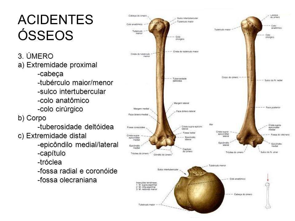 ACIDENTES ÓSSEOS 3. ÚMERO a) Extremidade proximal -cabeça