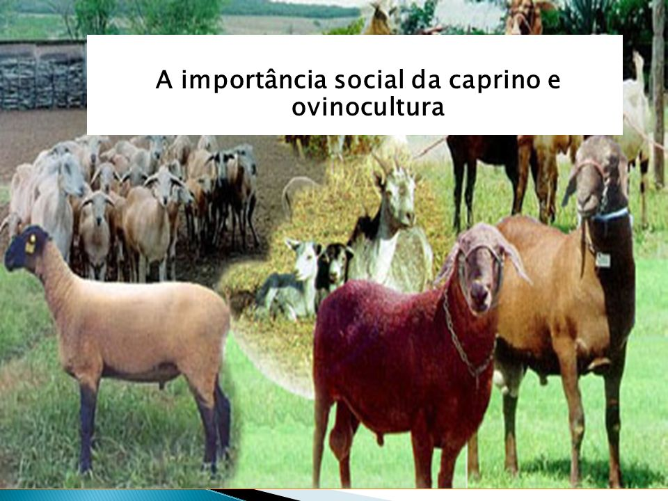 A importância social da caprino e ovinocultura