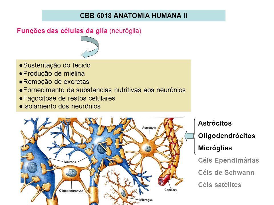 CBB 5018 ANATOMIA HUMANA IIFunções das células da glia (neurôglia) ●Sustentação do tecido. ●Produção de mielina.
