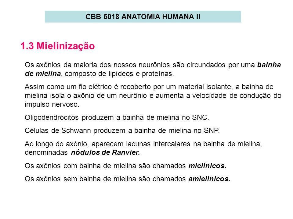 1.3 Mielinização CBB 5018 ANATOMIA HUMANA II