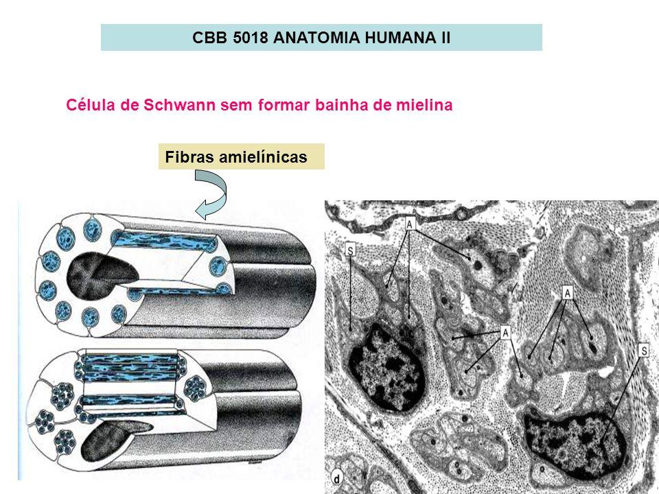 CBB 5018 ANATOMIA HUMANA II Célula de Schwann sem formar bainha de mielina Fibras amielínicas
