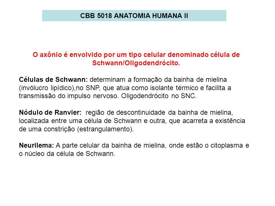 CBB 5018 ANATOMIA HUMANA II O axônio é envolvido por um tipo celular denominado célula de Schwann/Oligodendrócito.