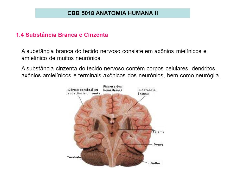 CBB 5018 ANATOMIA HUMANA II 1.4 Substância Branca e Cinzenta.