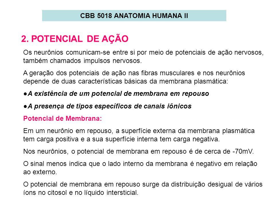 2. POTENCIAL DE AÇÃO CBB 5018 ANATOMIA HUMANA II
