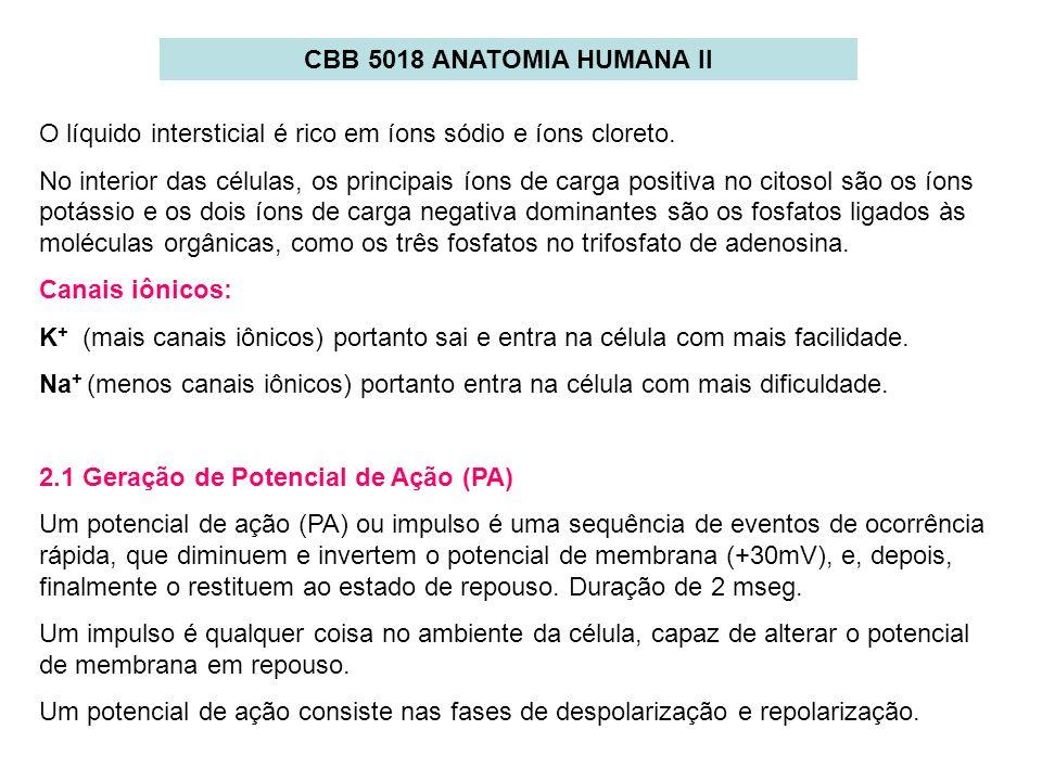 CBB 5018 ANATOMIA HUMANA IIO líquido intersticial é rico em íons sódio e íons cloreto.