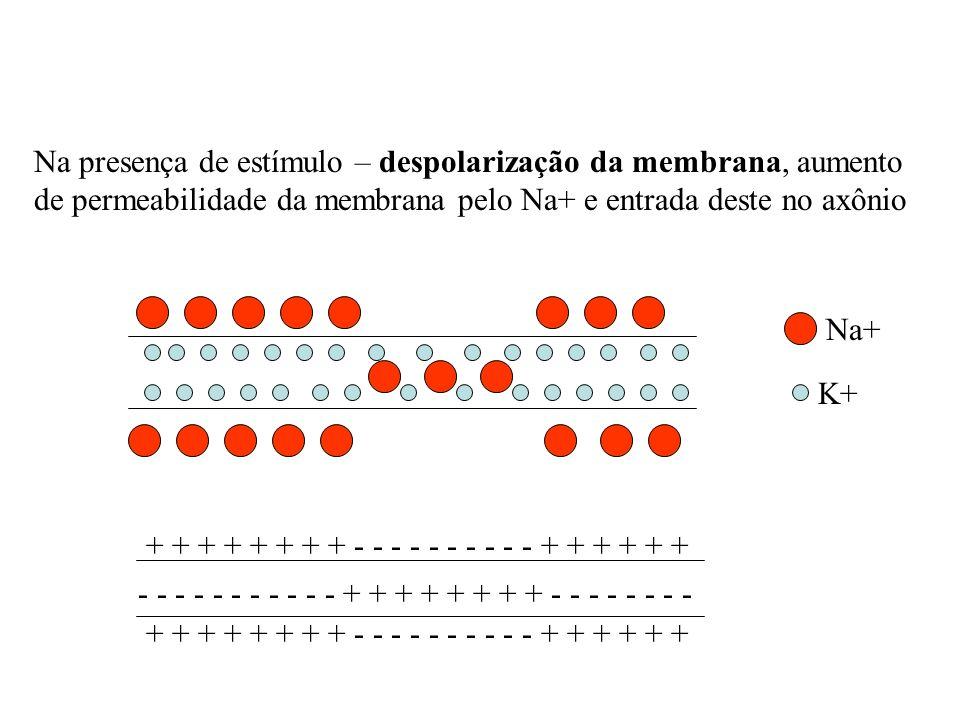 Na presença de estímulo – despolarização da membrana, aumento de permeabilidade da membrana pelo Na+ e entrada deste no axônio