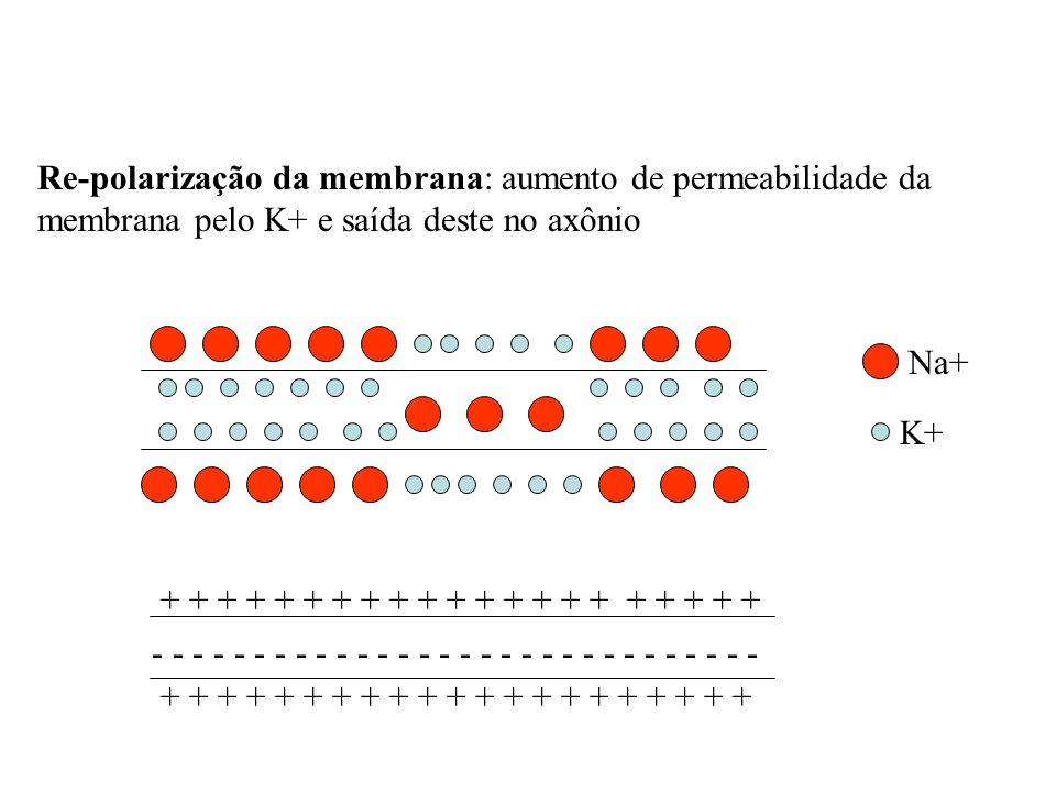 Re-polarização da membrana: aumento de permeabilidade da membrana pelo K+ e saída deste no axônio