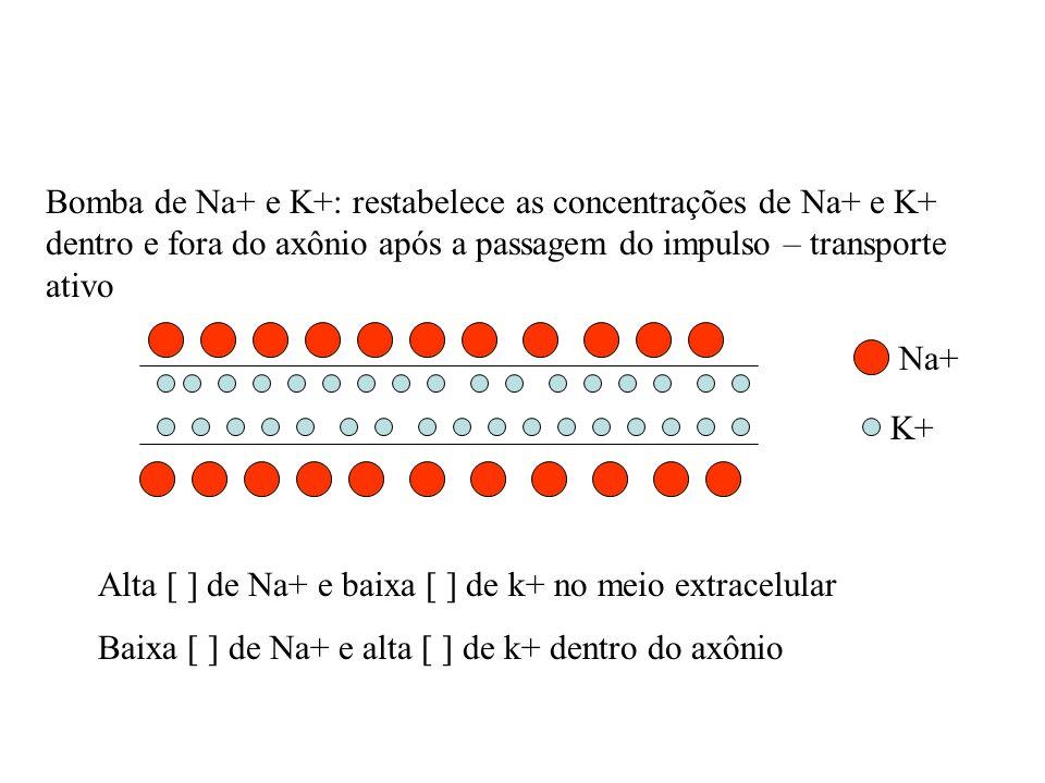Bomba de Na+ e K+: restabelece as concentrações de Na+ e K+ dentro e fora do axônio após a passagem do impulso – transporte ativo