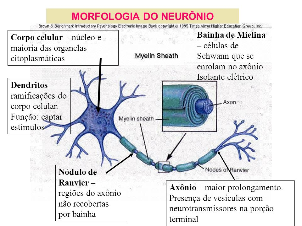 MORFOLOGIA DO NEURÔNIO