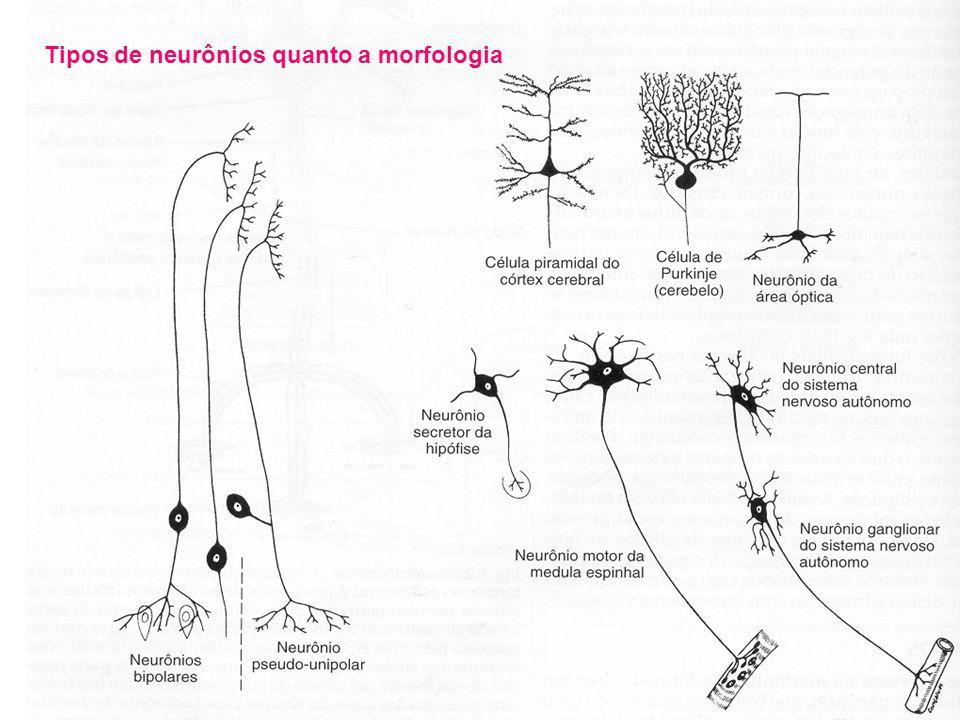 Tipos de neurônios quanto a morfologia