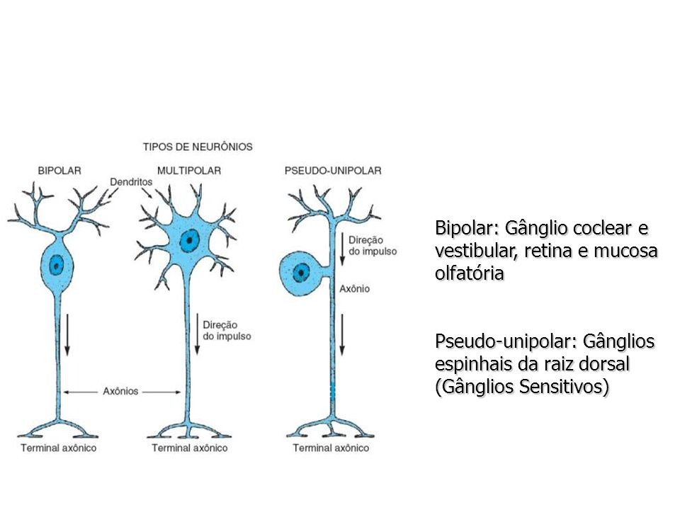 Bipolar: Gânglio coclear e vestibular, retina e mucosa olfatória