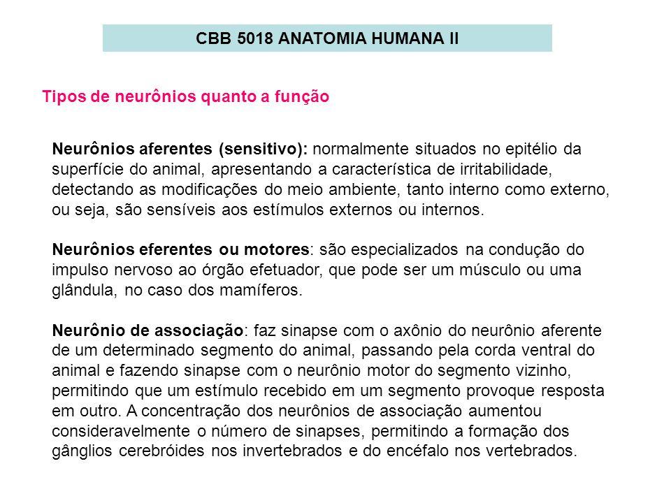 CBB 5018 ANATOMIA HUMANA II Tipos de neurônios quanto a função.