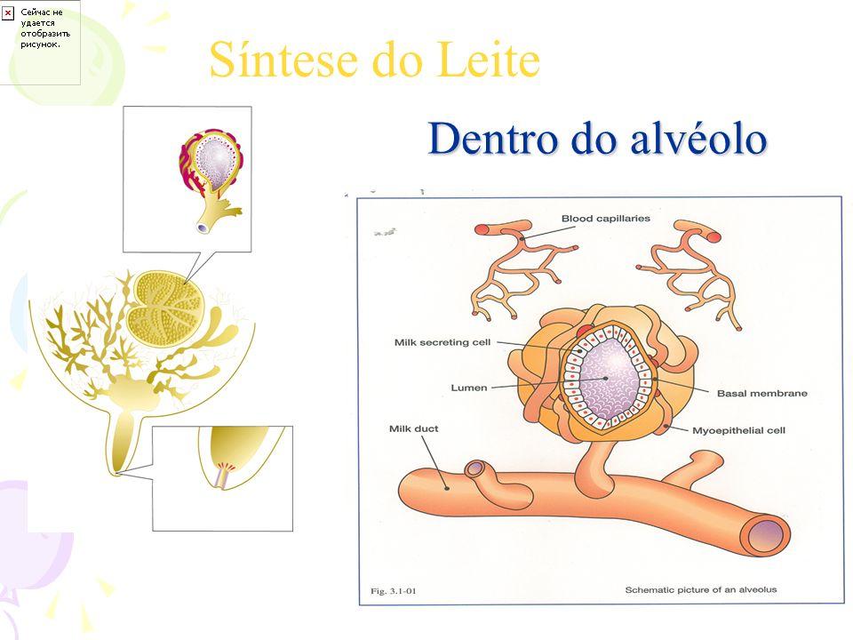 Síntese do Leite Dentro do alvéolo