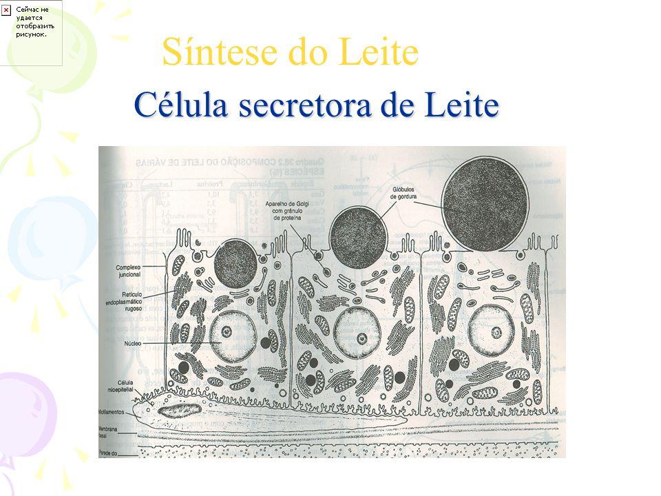 Síntese do Leite Célula secretora de Leite