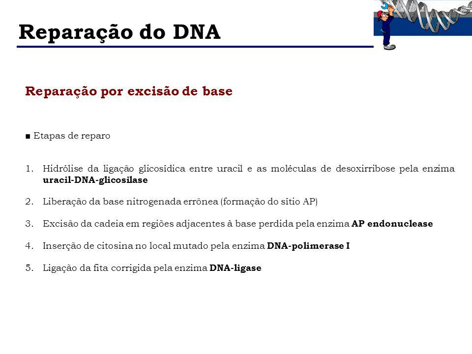 Reparação do DNA Reparação por excisão de base ■ Etapas de reparo