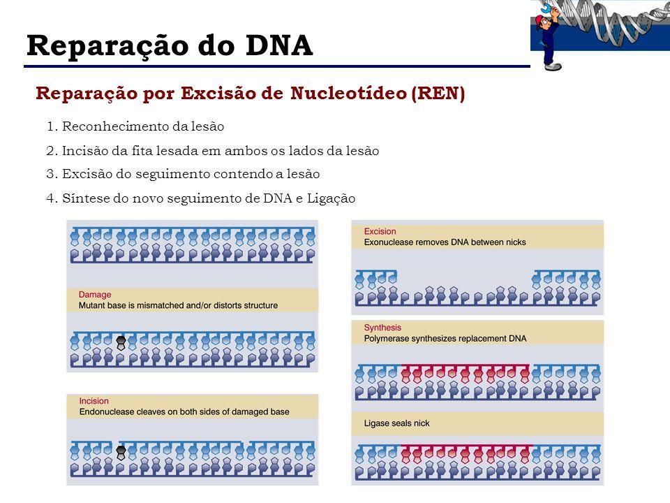 Reparação do DNA Reparação por Excisão de Nucleotídeo (REN)