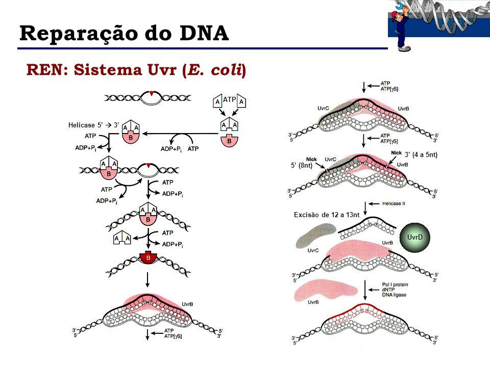 Reparação do DNA REN: Sistema Uvr (E. coli) ATP Helicase 5'  3'
