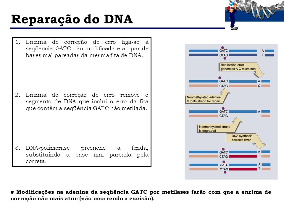 Reparação do DNA Enzima de correção de erro liga-se à seqüência GATC não modificada e ao par de bases mal pareadas da mesma fita de DNA.