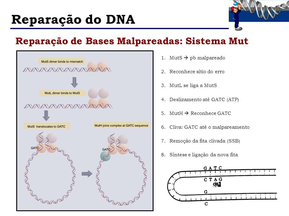 Reparação do DNA Reparação de Bases Malpareadas: Sistema Mut